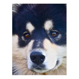 Süße finnische Lapphund Postkarte