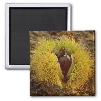 Süße Kastanien-Magnet Quadratischer Magnet