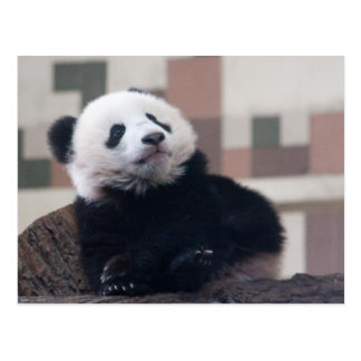 Süßes Panda-Baby Postkarte