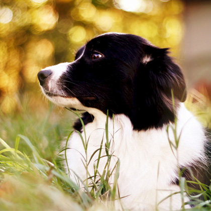 Border Collie Lovers