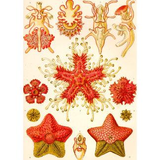 Ernst Haeckel Asteridea