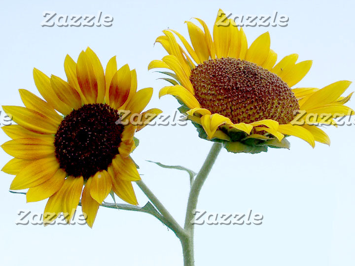 Amazing Sunflowers
