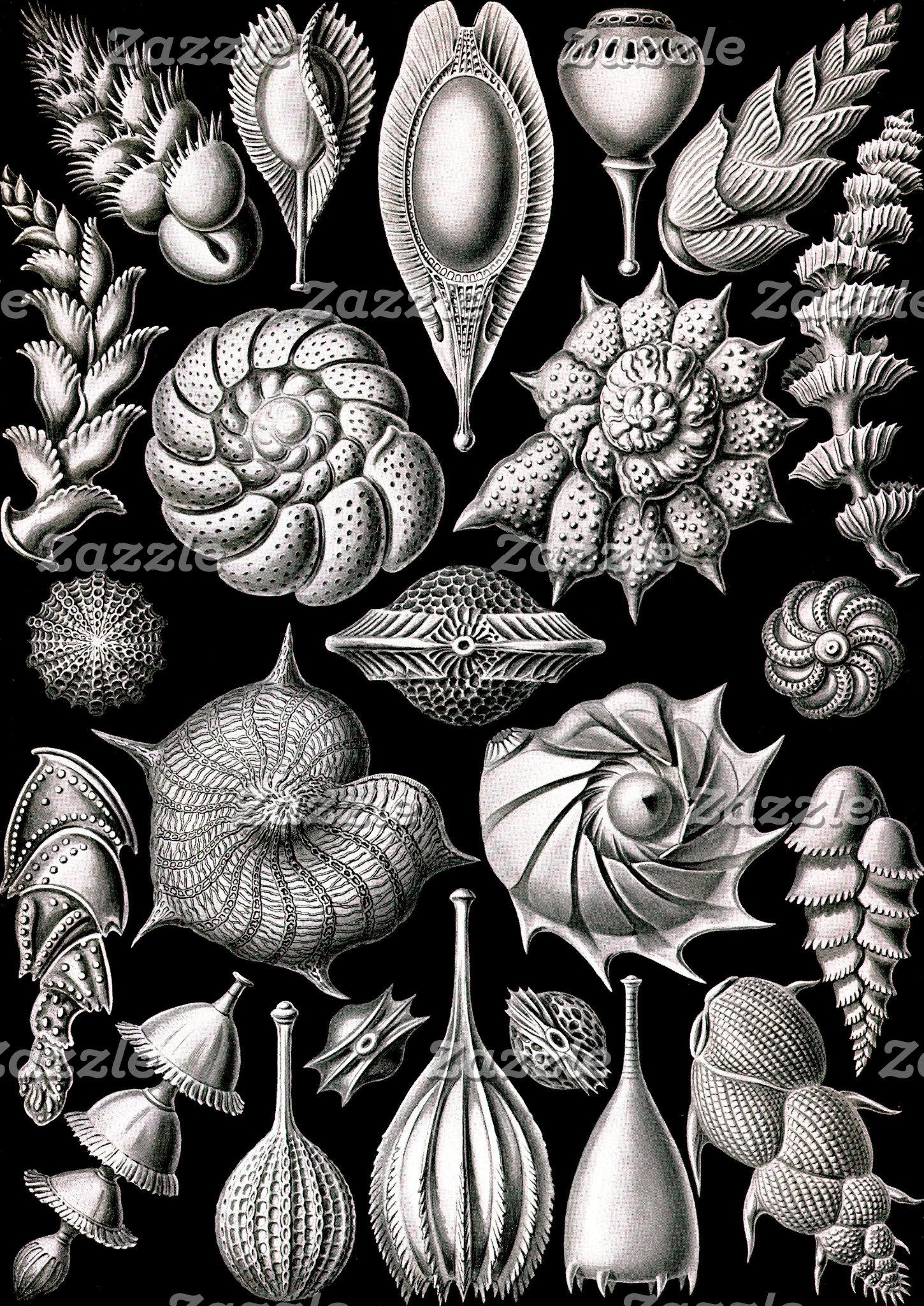 Ernst Haeckel Thalamophora II