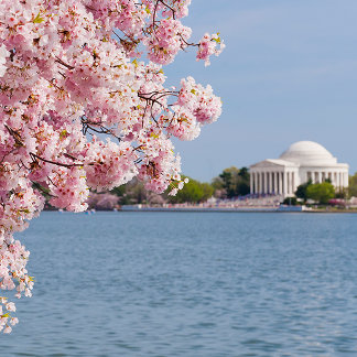 USA, Washington DC, Cherry tree