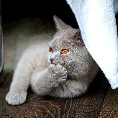 British cat - Funny cat - gray cat