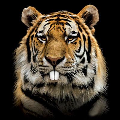 Rabbit tiger - tiger face - tiger head