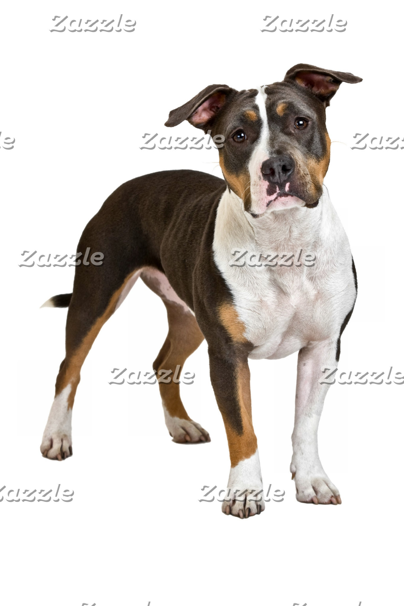 American Staffordshire Terriers