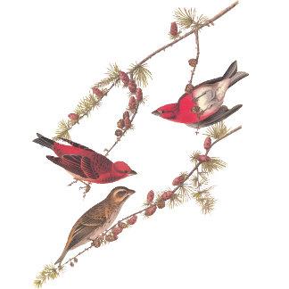 Purple Finch (Plate 4)