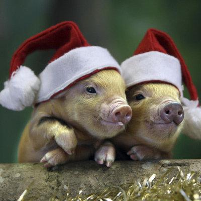 Pig santa claus - christmas pig - three pigs