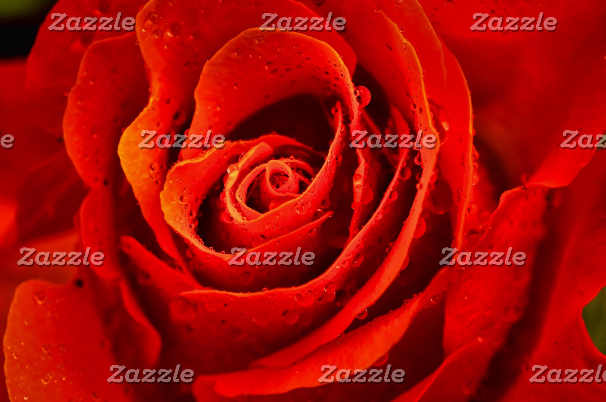 Red rose with dew close-up