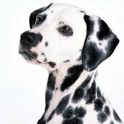 Dalmatian Lovers