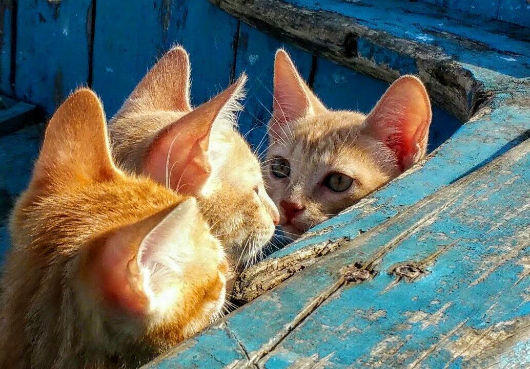Orange Tabby Kittens in Blue Wooden Boat