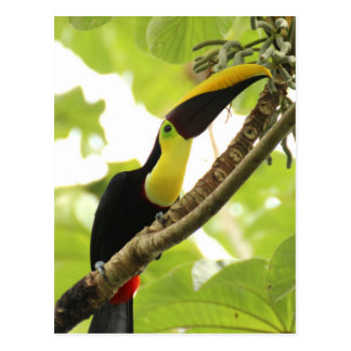 Swainson Toucan Postkarte