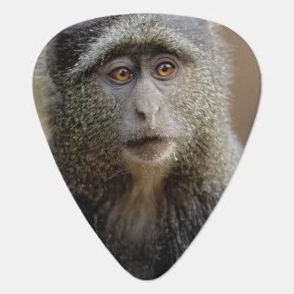 Sykes oder blauer Affe, Cercopithecus mitis, Plektrum