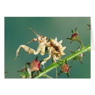 Tansanischer BlumeMantis, Pseudocreboter Karte