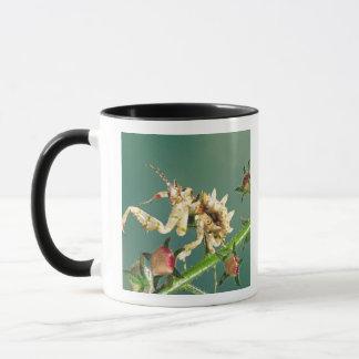 Tansanischer BlumeMantis, Pseudocreboter Tasse