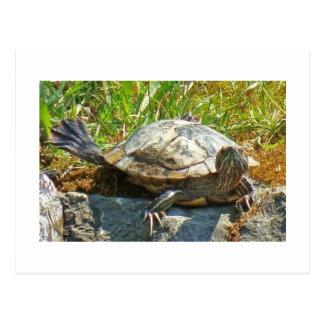 Tanzenschildkröte - Postkarte