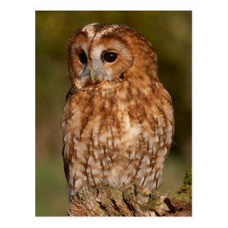 Tawny Owl (Strix aluco) Postkarte