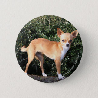 Teacup-Chihuahua-Welpe Runder Button 5,7 Cm