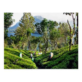 Tee-Plantage Postkarte