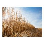 Teils geerntetes Mais-Feld Postkarten