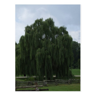 Tennessee-Weide-Baum Postkarte