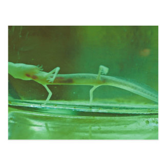Texas blinder Salamander Postkarte