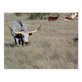 Texas Longhorn 1 Postkarte