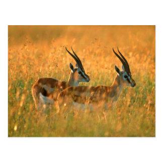 Thomsons Gazelle (Gazella Thomsonii) an der Postkarte