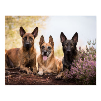 Three dogs postkarte