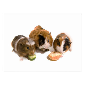 three guinea pigs who eat, postkarte