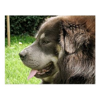 Tibetaner mastiff.png postkarte