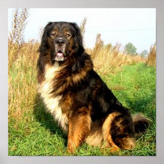 Tibetanischer Mastiff-Druck Poster
