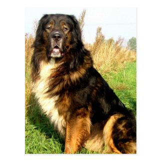 Tibetanischer Mastiff-Postkarte Postkarte