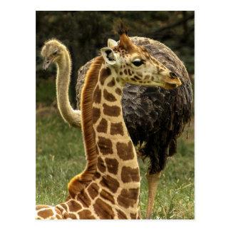 Tier-Foto der Giraffe und des Ostrich Postkarte