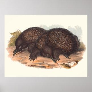 Tiere von Australien der Echidna Poster