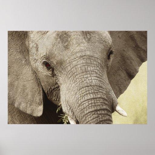 Tierplakate des afrikanischen Elefanten, Bilder, d Poster