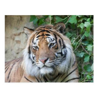 Tiger am Zoo Postkarte