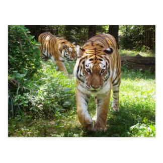 Tiger auf dem Prowl Postkarte