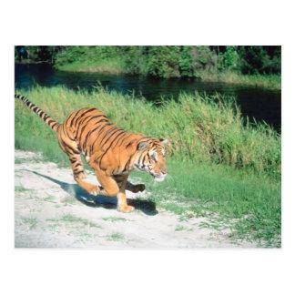 Tiger auf Weg Postkarte