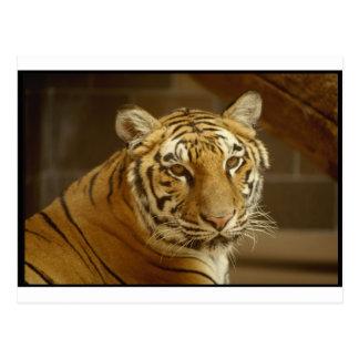 Tiger-Bild Postkarte