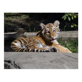 Tiger CUB auf den Felsen Postkarte