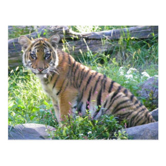 Tiger-CUB-Porträt 2 Postkarte