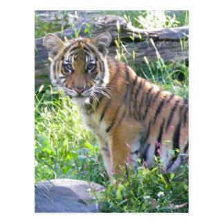 Tiger-CUB-Porträt 2 Postkarten