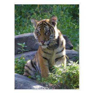 Tiger-CUB-Porträt Postkarte