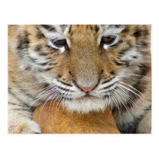 Tiger-CUB-Postkarte Postkarten