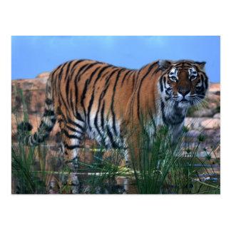 Tiger, der den Fluss schützt Postkarte