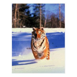 Tiger, der in Schneefarbphotographiepostkarte Postkarte