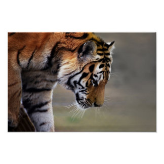 Tiger, der unten klettert poster