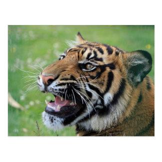 Tiger, der Zähne zeigt Postkarte